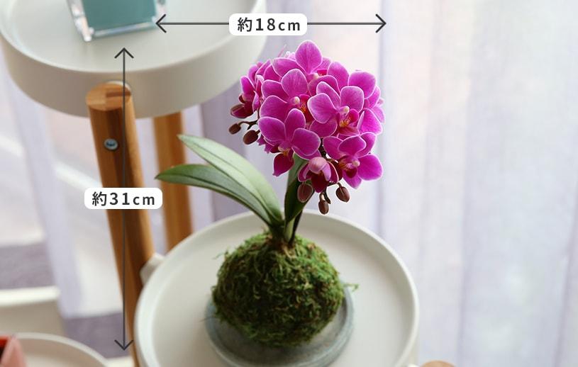 苔玉マイクロ胡蝶蘭サイズ感