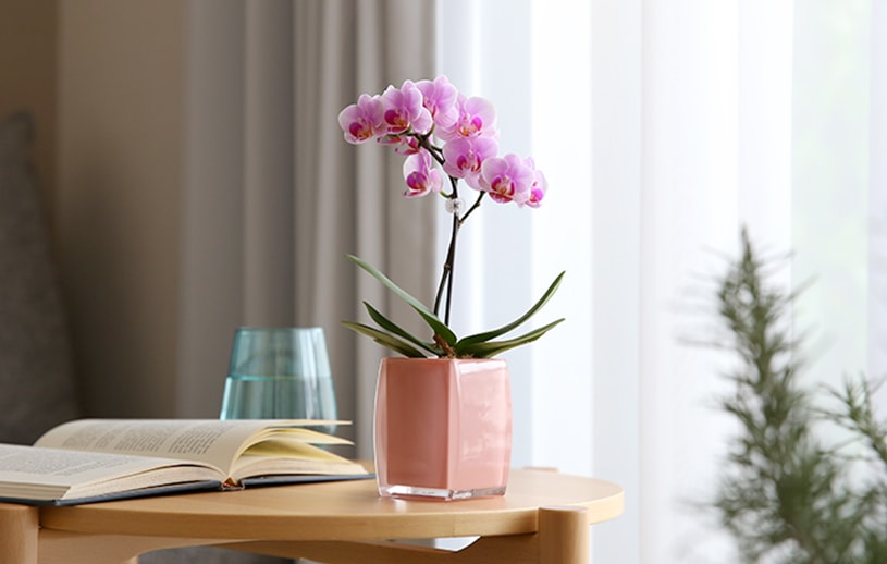 マイクロ胡蝶蘭クロエ鉢