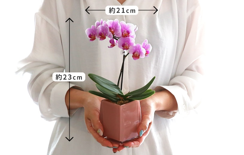 マイクロ胡蝶蘭クロエ鉢サイズ感