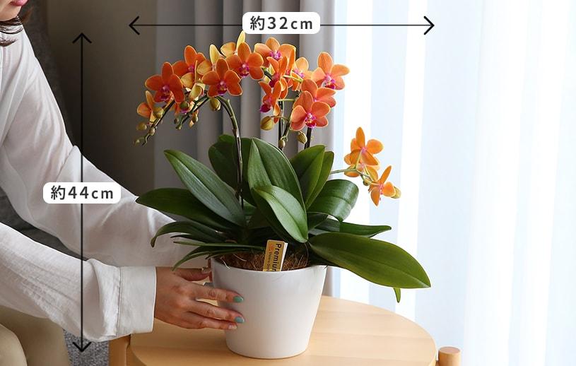 パプリカオレンジ胡蝶蘭サイズ感