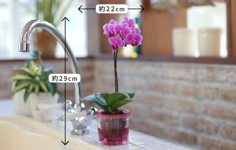 アクア給水ポット胡蝶蘭サイズ感