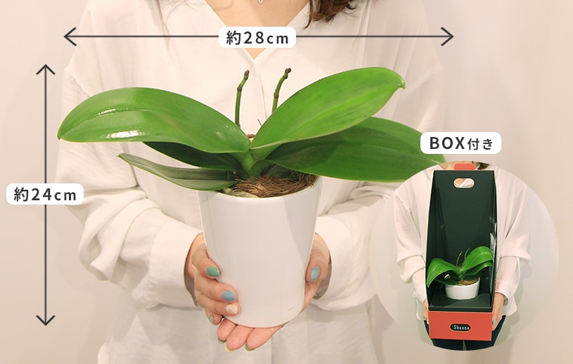 胡蝶蘭栽培キットサイズ感